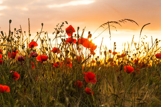 ポピーと日没の風景と麦畑。野生の花と美しい自然の夏の景色