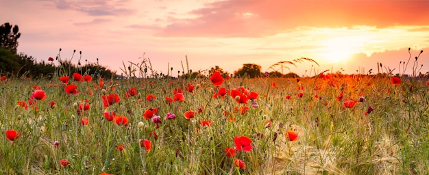 Wheat field with poppies and sundown landscape. beautiful nature summer vista with wild flowers