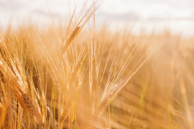 Wheat field with ripe spikelets of wheat. selective focus.