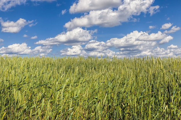 小麦畑 Premium写真