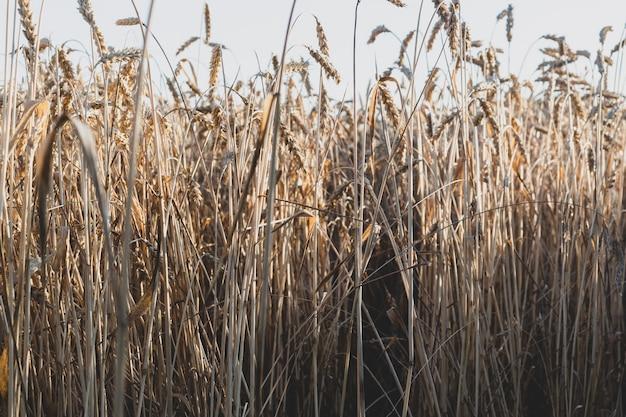 Поле пшеницы золотое спелой пшеницы против голубого неба.
