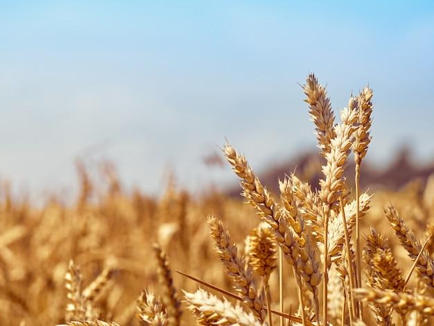 화창한 날에 밀 곡물 필드