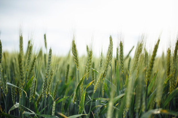 Wheat green spikelets in field on sunny spring day