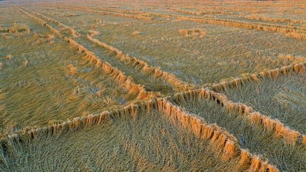 뇌우에 의해 소실 된 밀 수확. 아침 여름 풍경 배경