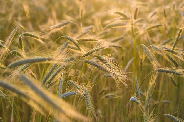Wheat harvest in sunlit