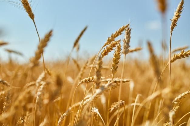 Урожай пшеницы, пшеничное поле на фоне голубого неба в солнечный день, лето