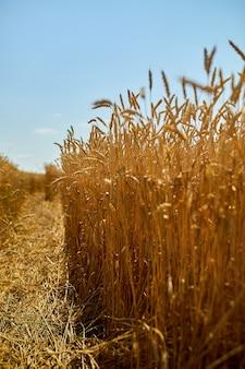 小麦の収穫、太陽の日、夏の青空を背景に小麦畑