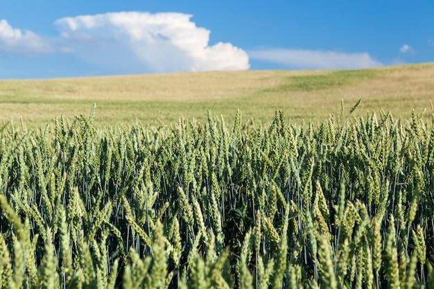 농업 분야에서 자라는 밀 미숙 한 녹색