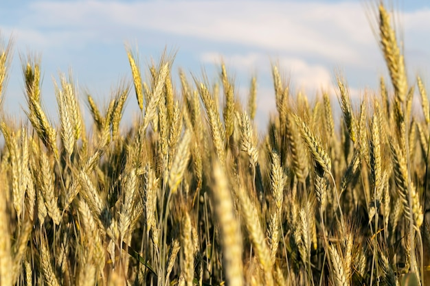 Пшеница летом