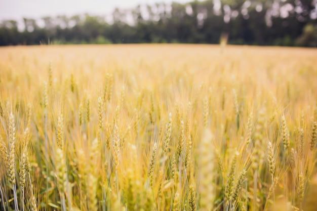 白い背景の上に小麦。小麦の収穫。