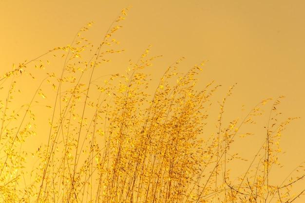 Пшеница на желтом фоне