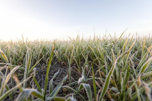 冬に播種された小麦またはライ麦