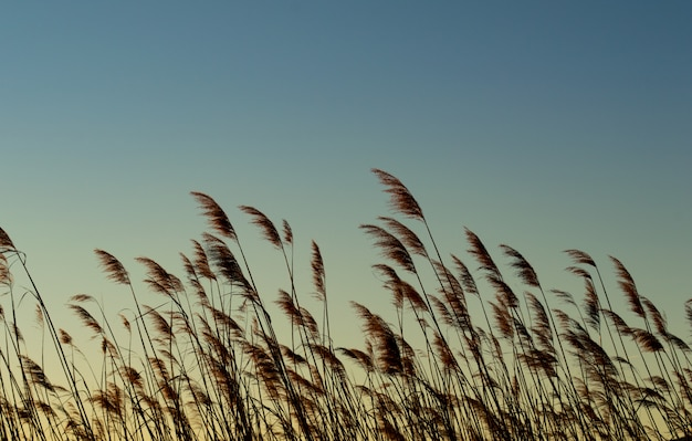 Wheat plant with sunrise