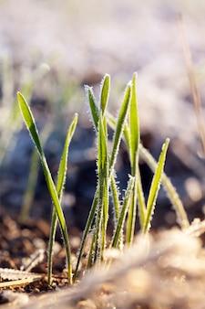 冬に植えられた小麦は、冬の霜の間に氷の結晶と霜で覆われ、農地のクローズアップの草、早期収穫のための小麦