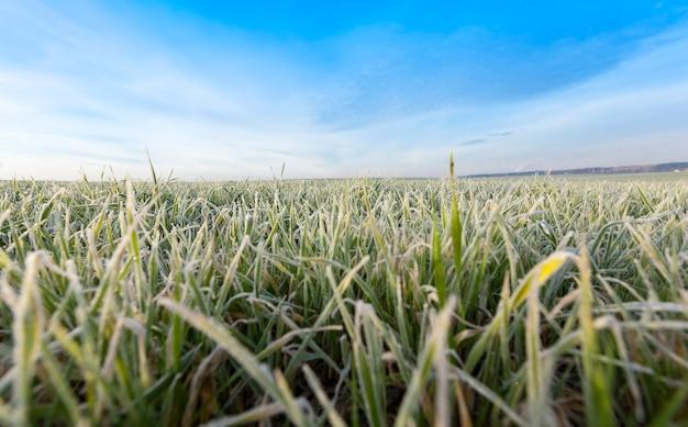 겨울철에 심은 밀은 겨울철에 얼음 결정과 서리로 덮여 있습니다.