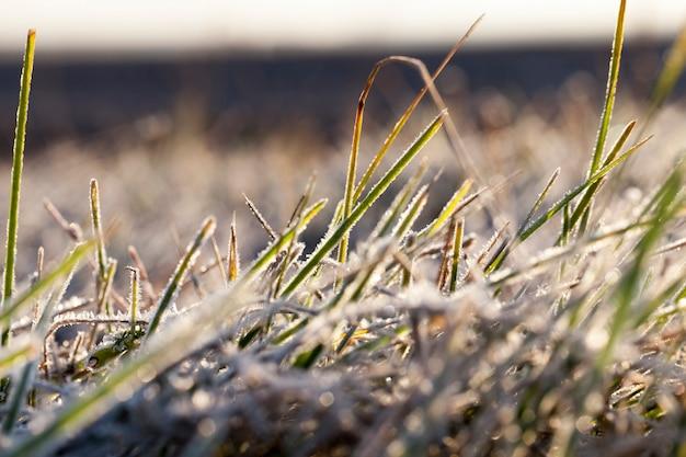 Посаженная на зиму пшеницу