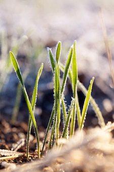 Wheat planted for winter covered with ice crystals and frost during winter frosts, grass on an agricultural field close-up, wheat for early harvest