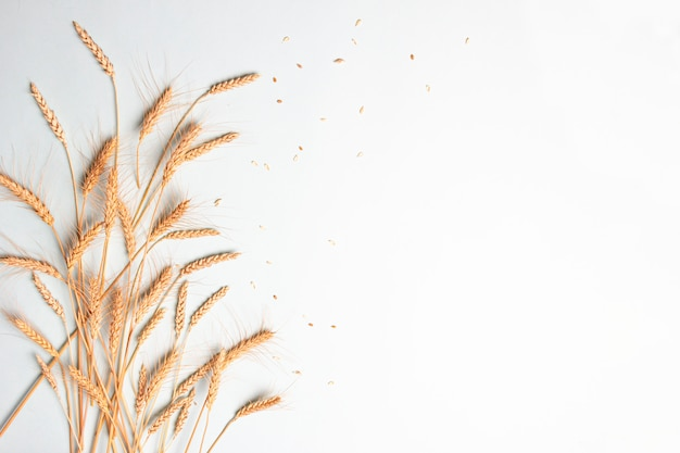 Wheat and rye dry ears cereals spikelets on light background