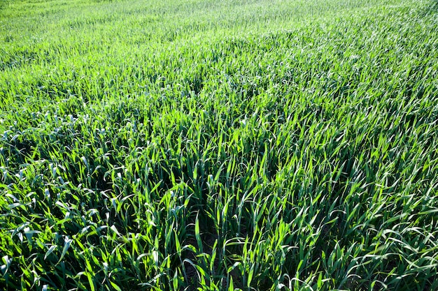 Wheat or rye on a young agricultural field in the spring, the plants are green and not ripe, sunny weather