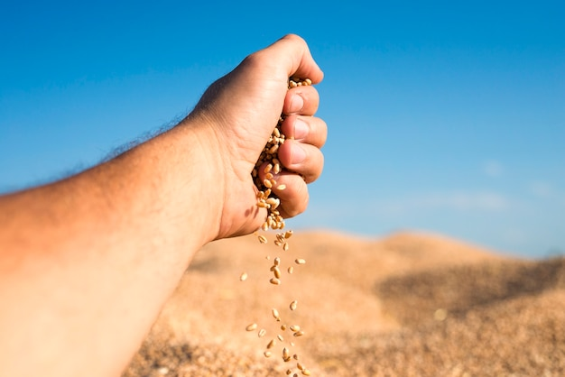 Wheat seeds pouring out of hand representing good yields and successful harvest