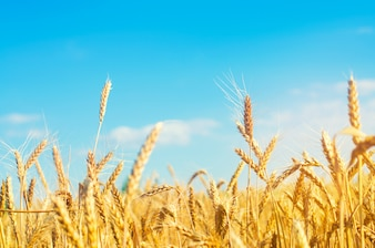 Wheat spike and blue sky close-up. a golden field. beautiful view.