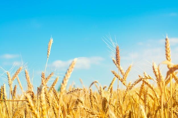 小麦のスパイクと青空のクローズアップ。ゴールデンフィールド。美しい景色。