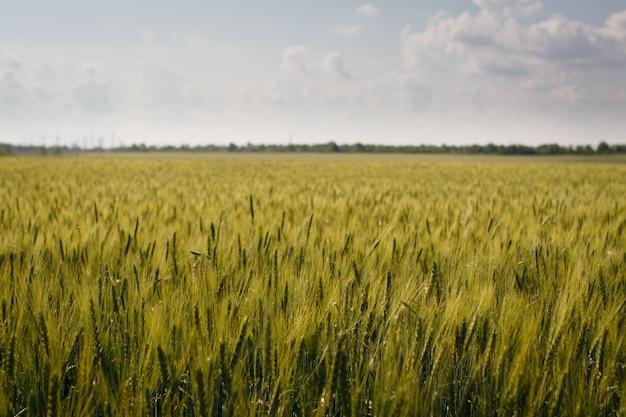 小麦の小穂農場農業フィールド風景と青い空
