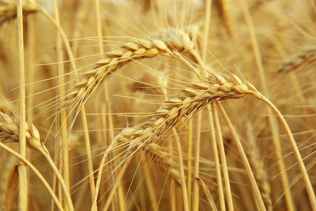 Wheat spikelets in a field close up with place for text