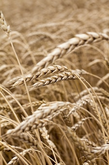 Wheat spikelets in the field close-up.