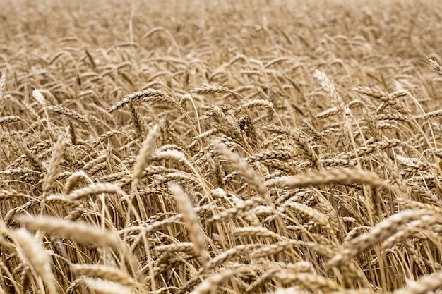 Wheat spikelets in the field. wheat spikelets pattern.