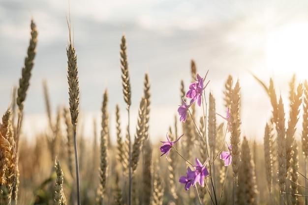 Колосья пшеницы и фиолетовые полевые цветы в пшеничном поле на закате, летний сельскохозяйственный фон, фон релаксации природы