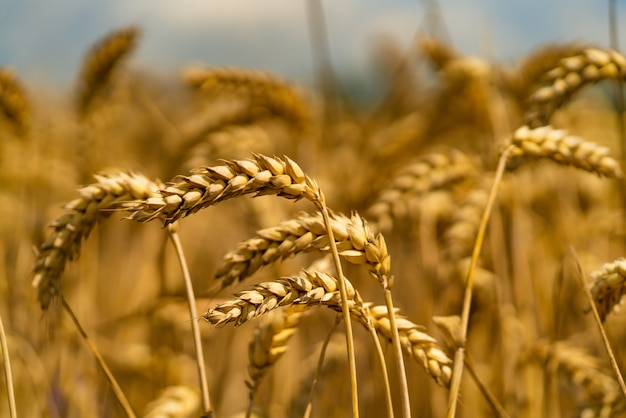 Wheat spikes tiltes to side of the wind in summer field. close-up