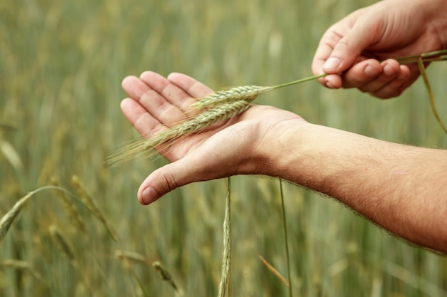 Wheat sprouts in a farmer's hand.