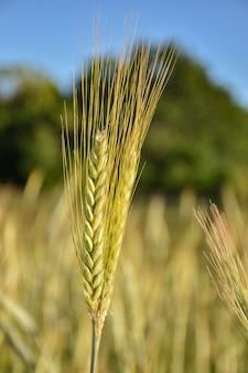 Стебель пшеницы крупным планом, урожай крупным планом