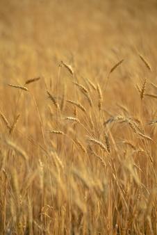 Стебли пшеницы в поле, крупный план пшеницы, сельское хозяйство
