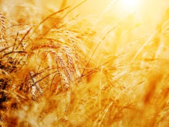 Wheat wisp