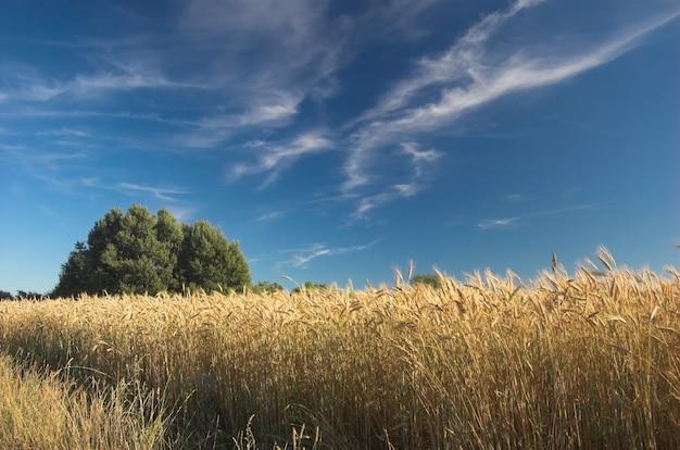 Di grano con nuvole