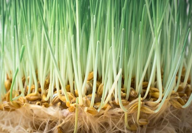 콩나물과 뿌리 클로즈업과 밀입니다. 측면보기. 건강 식품의 개념, 슈퍼 푸드.