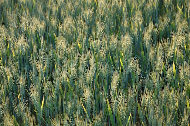 Пшеница