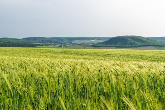 Пшеничное поле в сельской местности