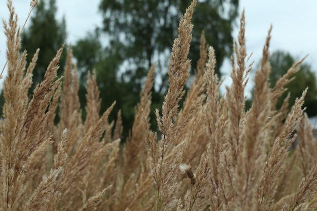 Пшеничное поле в ветреный день