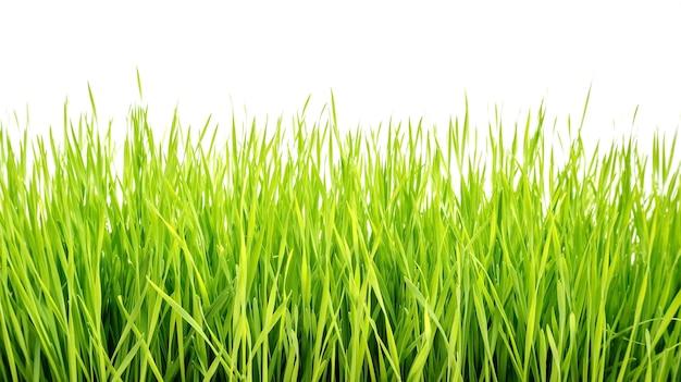 Wheatgrass plant on a white background
