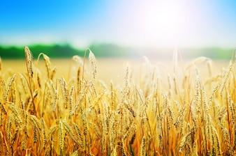 Wheats spikes