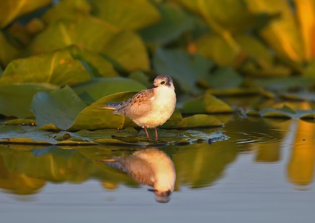 Птенец усатой крачки (chlidonias hybrida) стоит на листьях водных растений в мягком утреннем свете