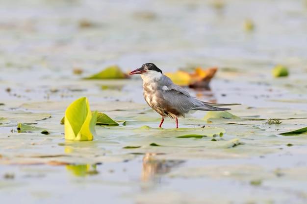수염 제비 갈매기는 부리에서 튀어나온 물고기 꼬리가 있는 수생 식물의 잎 위에 서 있습니다. 먹이는 너무 큽니다.
