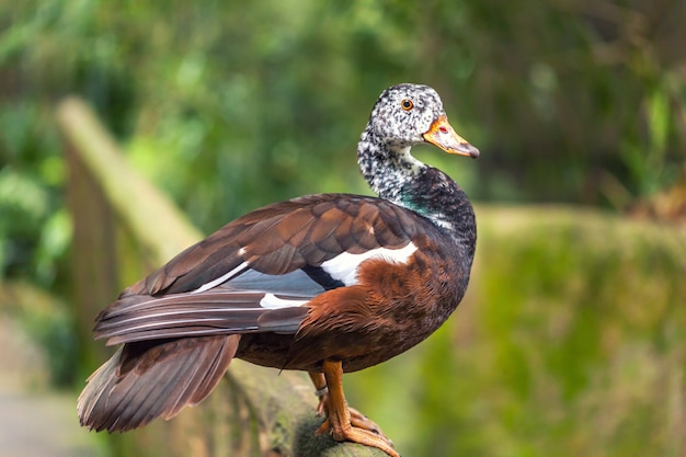 The whistling ducks or tree ducks brown color with white head