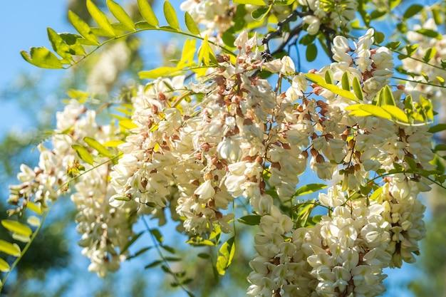 Белая акация цветет на весеннем солнце над голубым небом.