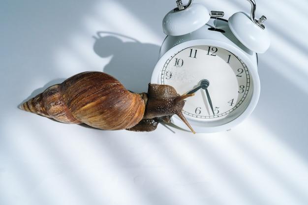 White achatina snail with dark shell crawling near white alarm clock on white