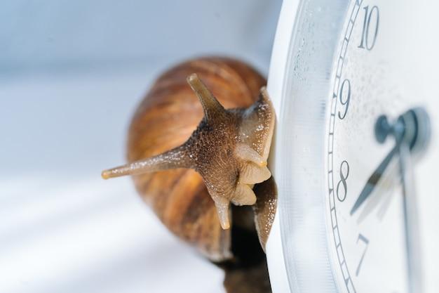 白い目覚まし時計の近くを這う暗い貝殻を持つ白いアチャティナカタツムリ