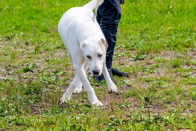公園を散歩中に飼い主の近くにいる白いアラバイ犬